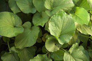 Bitkiler ve Sakinleştirici Etkileri 6