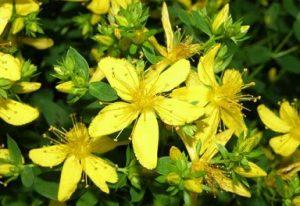 Bitkiler ve Sakinleştirici Etkileri 5